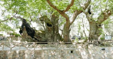 Vlatos Platan Tree